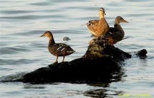 duck-island_JR35146