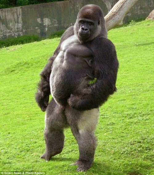Ambam gorilla