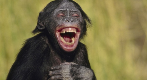 laughing-bonobo-crop