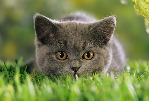 photolibrary_rm_photo_of_kitten_in_grass